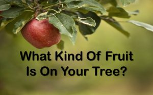 What kind of fruit is on your tree 1
